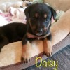 Easily adopt A Puppy Daisy - Mom Lilly at :shelter_name and be a part of the pet adoption, animal rescue and welfare movement.