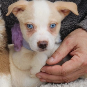 Easily adopt Clover at Cowboy Capital Pet Assistance League and be a part of the pet adoption, animal rescue and welfare movement.