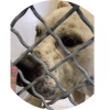 Easily adopt Sumo at Carson Animal Shelter and be a part of the pet adoption, animal rescue and welfare movement.